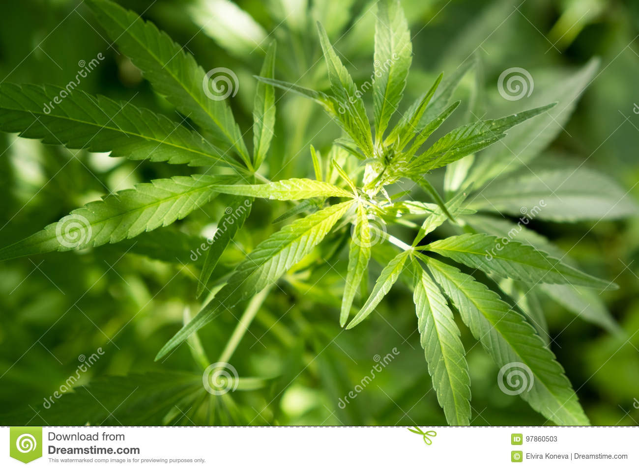 Marijuana leaf background wallpaper, cannabis hemp leaf outdoors