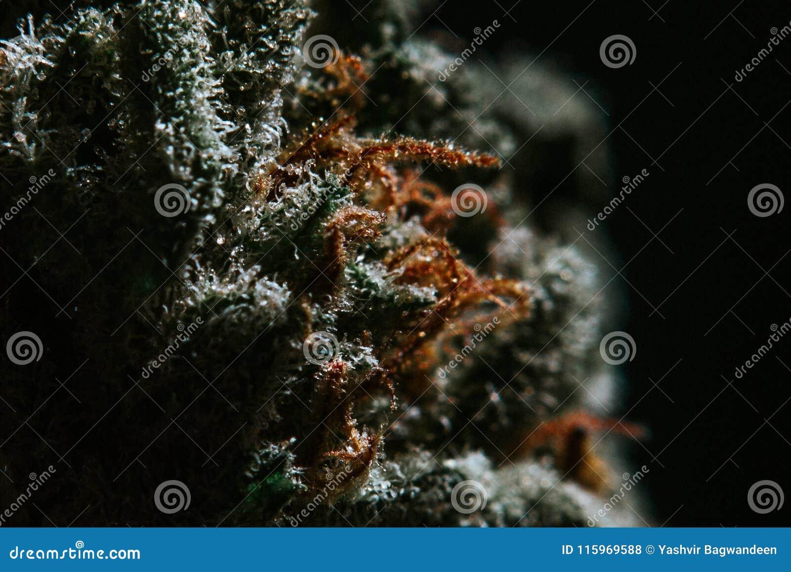 Marijuana médica, cáñamo, Sativa, Indica, Trichomes, THC, CBD, curación del cáncer, mala hierba, flor, cáñamo, gramo, brote
