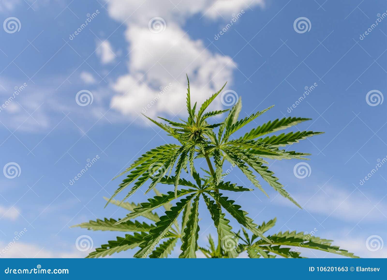 new concept 41b1a ebebb Marijuana at outdoor air cannabis farm field.