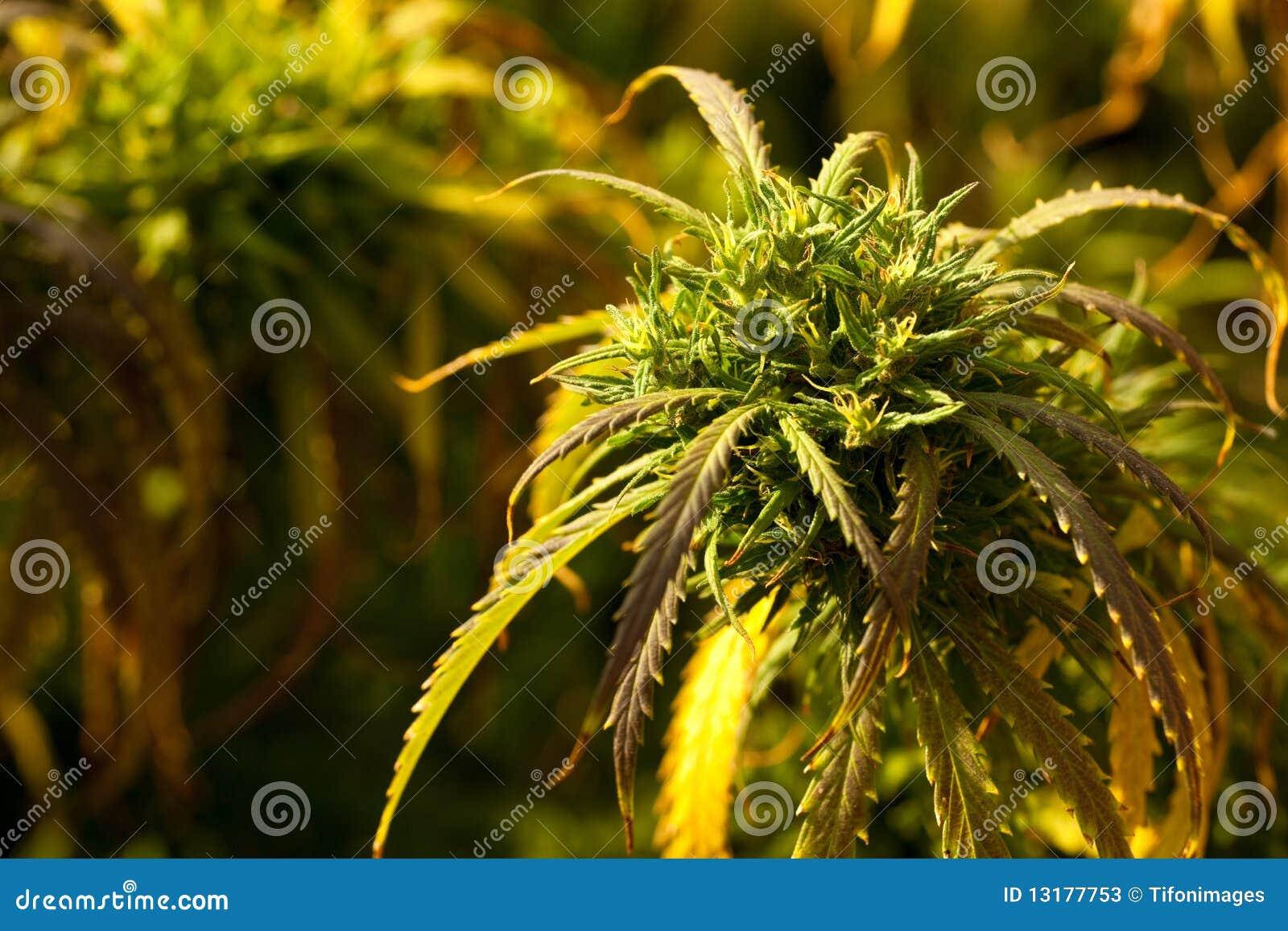 Marijuana Plant Stock s Image