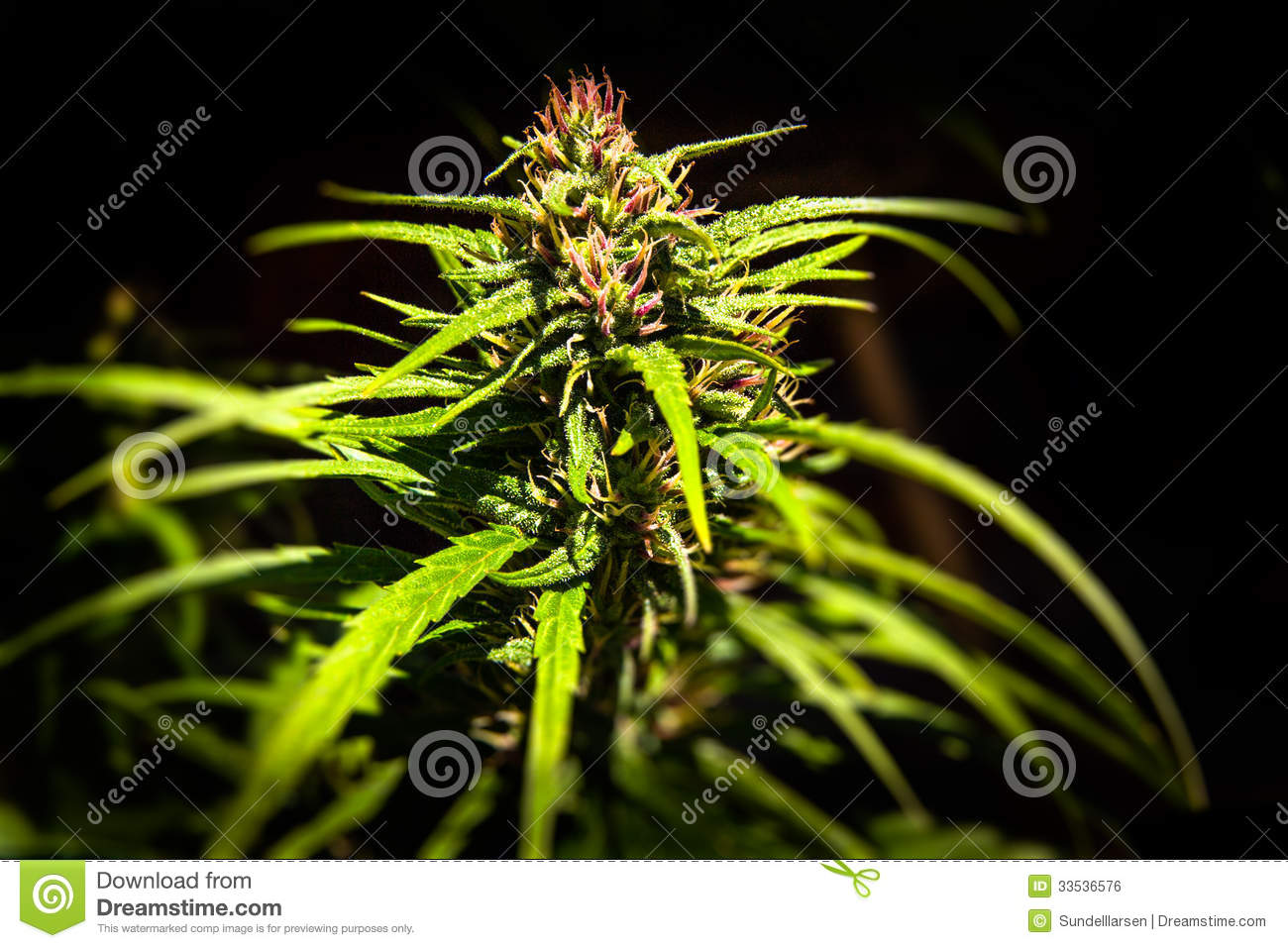 cannabis plant wallpaper black - photo #13
