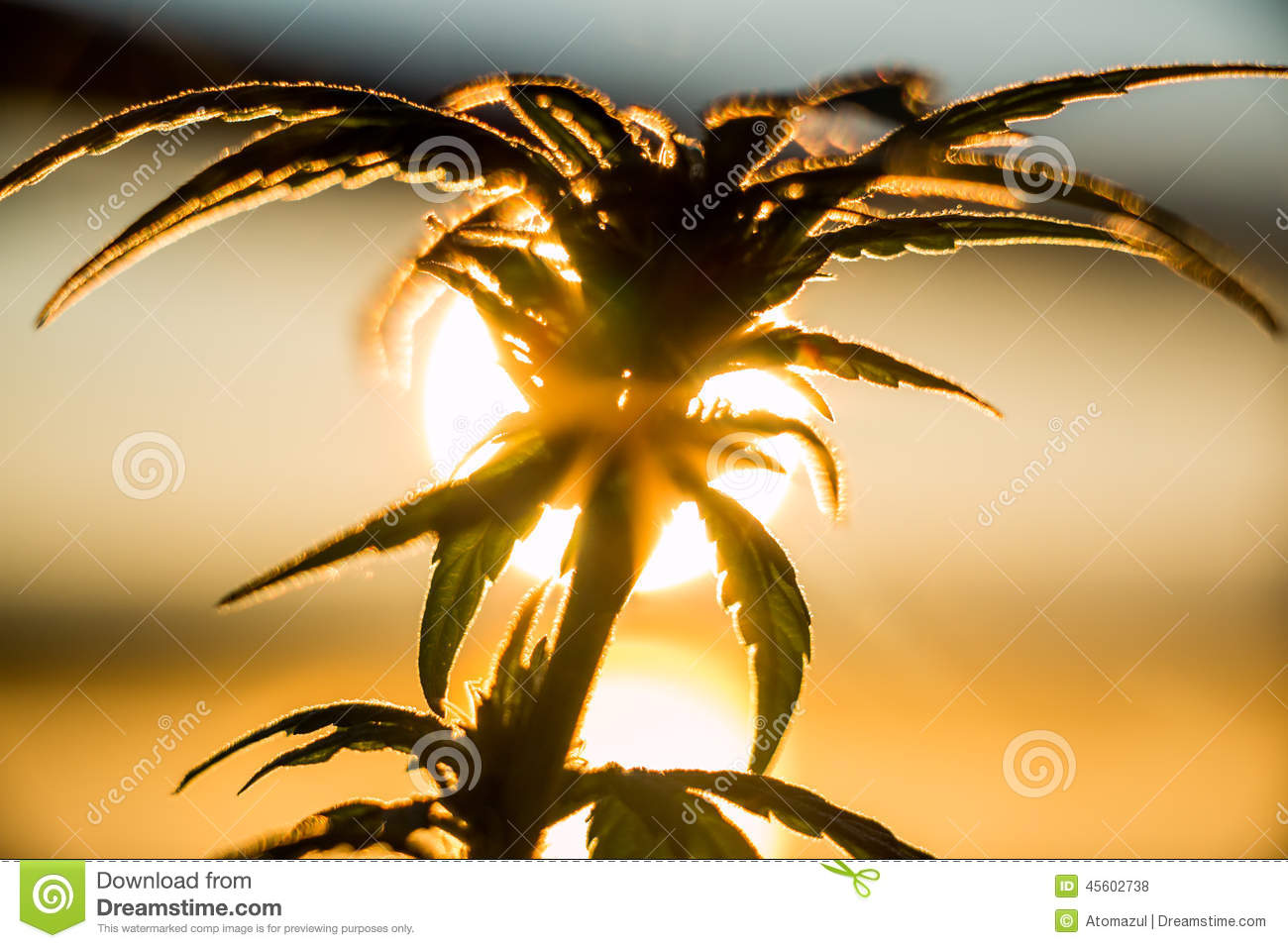 Marijuana Plant Sunrise