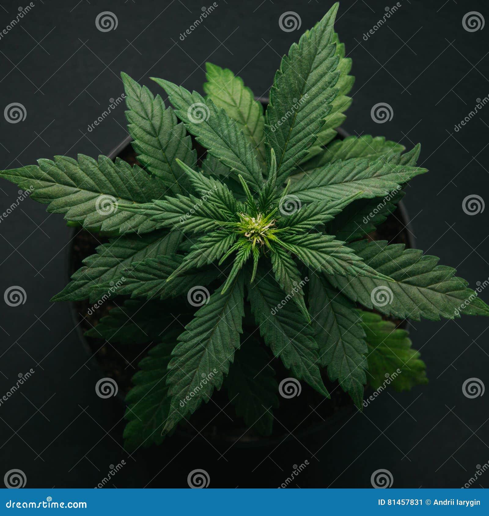 Marijuana in pot vegetation