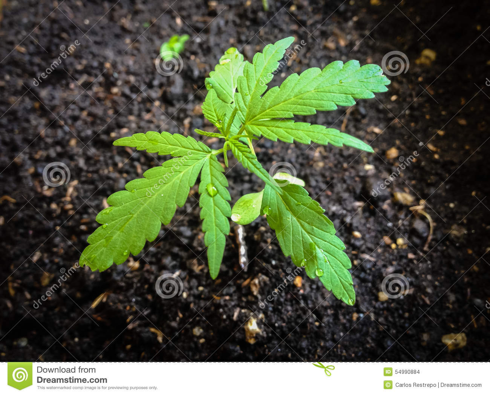Marijuana seedling stock photo. Image of herb, detail - 54990884