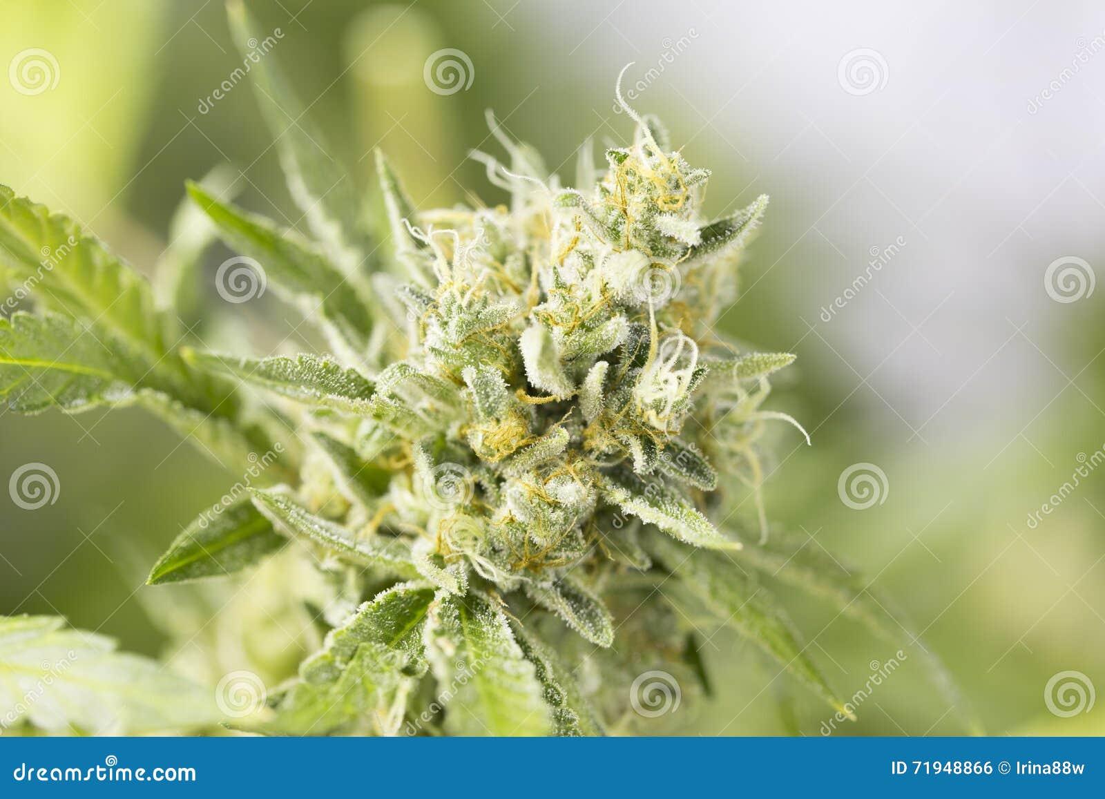 Marijuanablomningen slår ut (cannabis), hampaväxten Mycket stor inomhus ogrässkörd