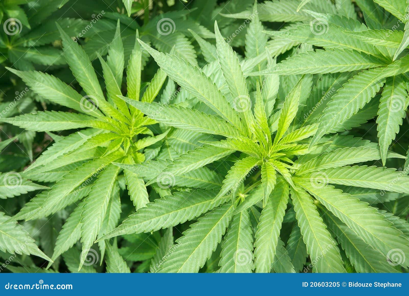 Marijuanaväxt