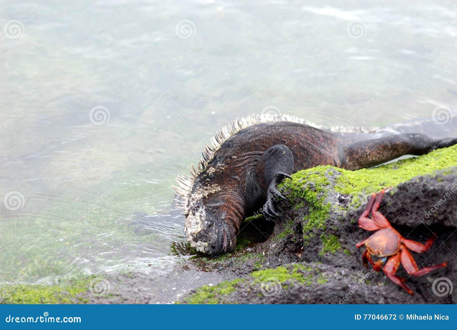 Marin- leguan som matar på alger
