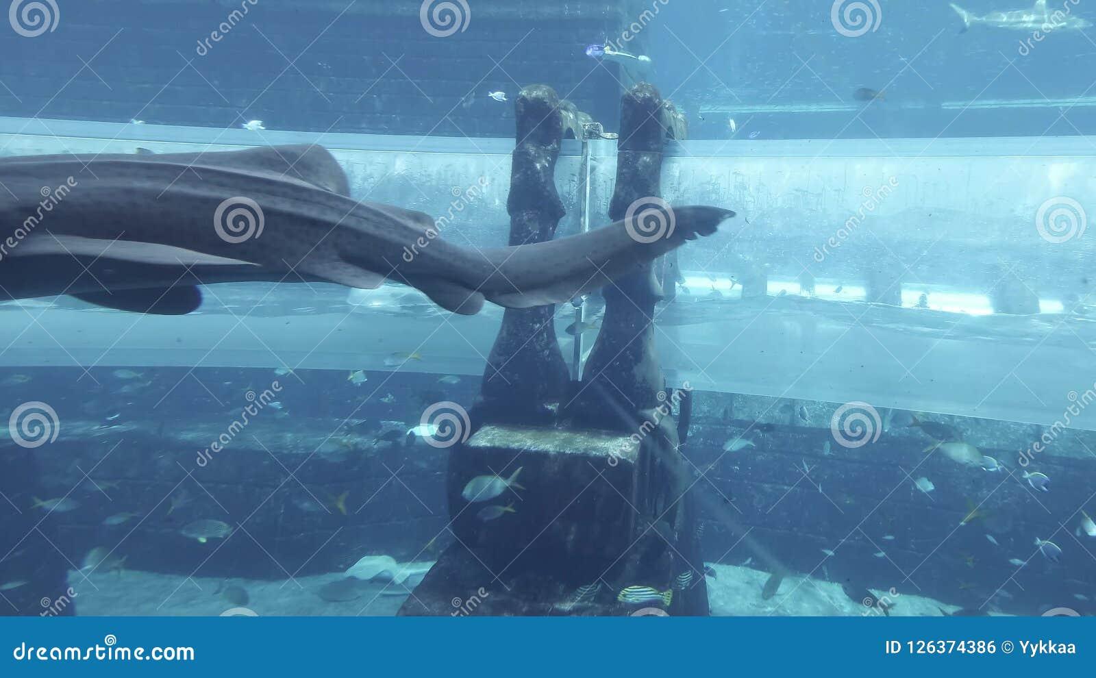 Marine aquarium with huge fish for the attraction Sharks Attack in the  aquapark Aquaventure in Atlantis Resort stock