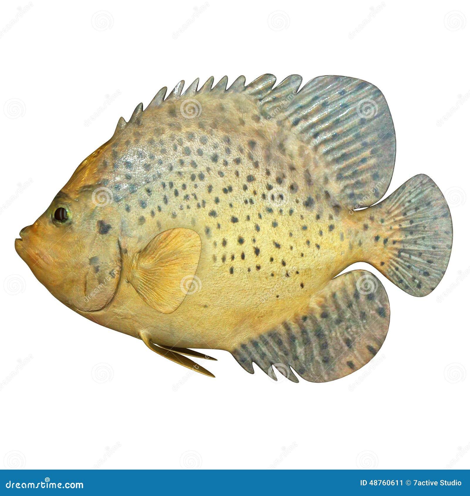 Marine Fish stock illustration. Image of closeup, craniate ...