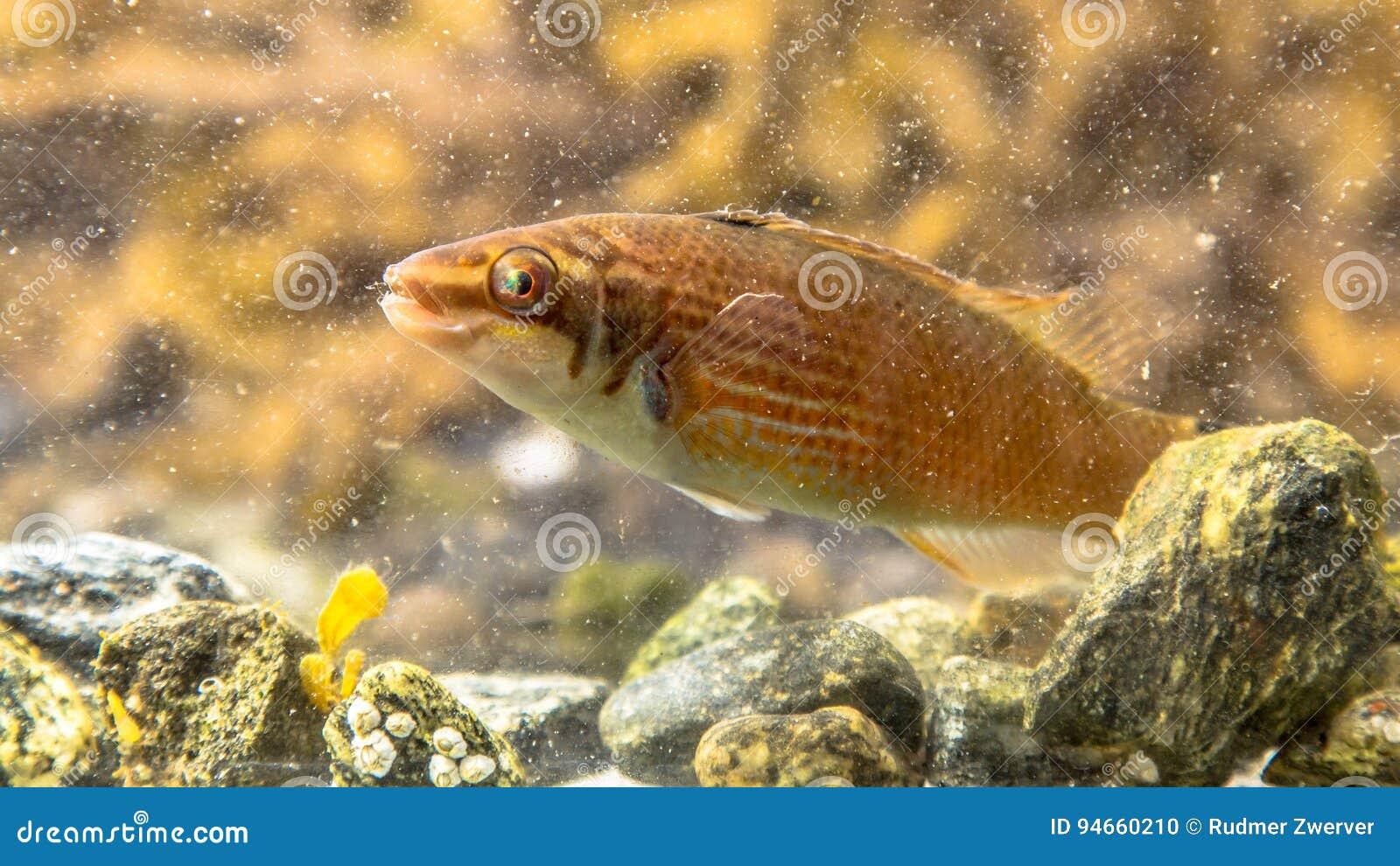 Marine Fish Goldsinny Wrasse Stock Photo Image Of Hobby Fishing 94660210