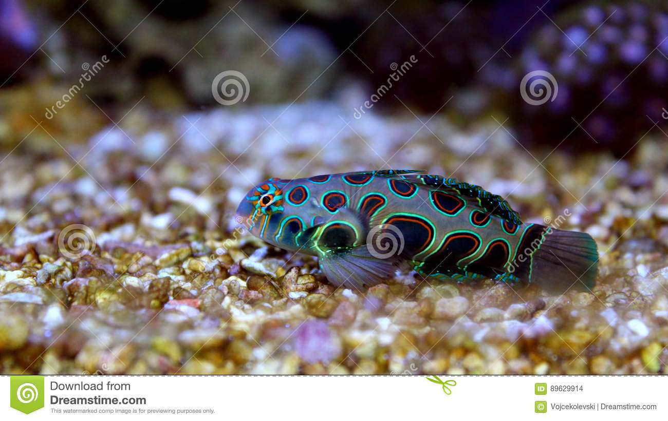 marine fish isolated stock photo image of leopard amphiprion