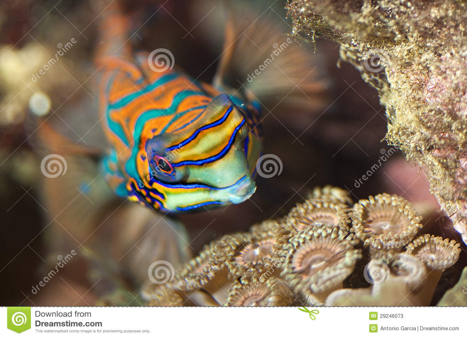 Marine fish,reef fish,mandarin