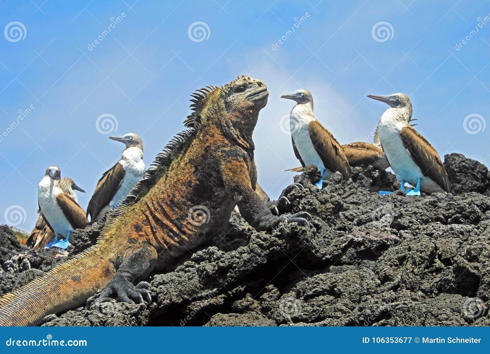 Marine iguana with blue footed boobies, booby, Sula nebouxii and Amblyrhynchus cristatus, on Isabela Island, Galapagos