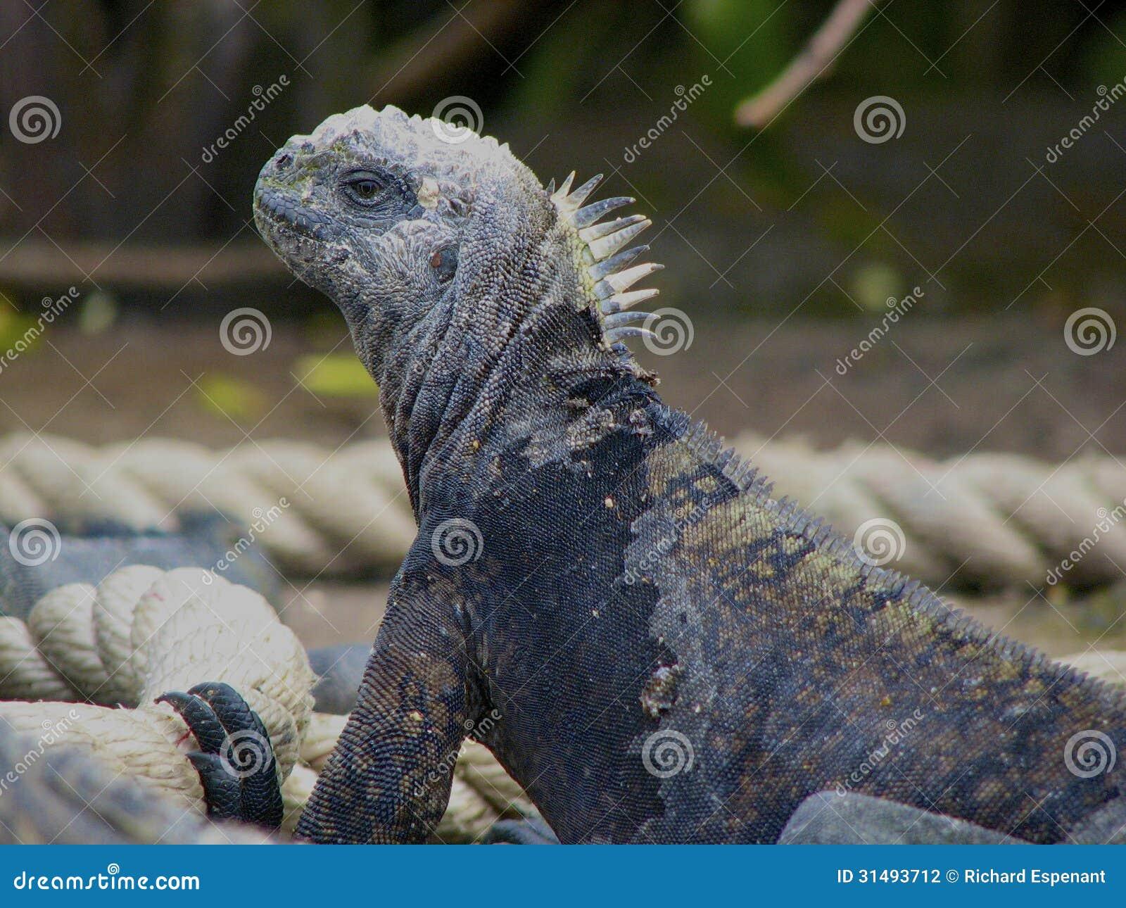 Marine Iguana, die von der Seite schaut