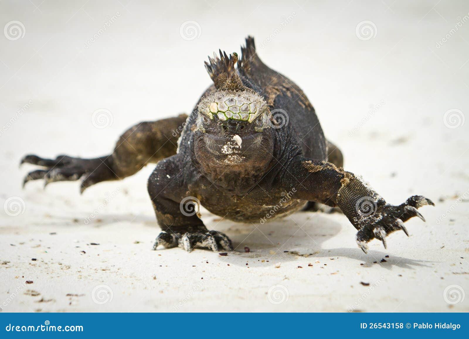 Marine Iguana walking straight at you