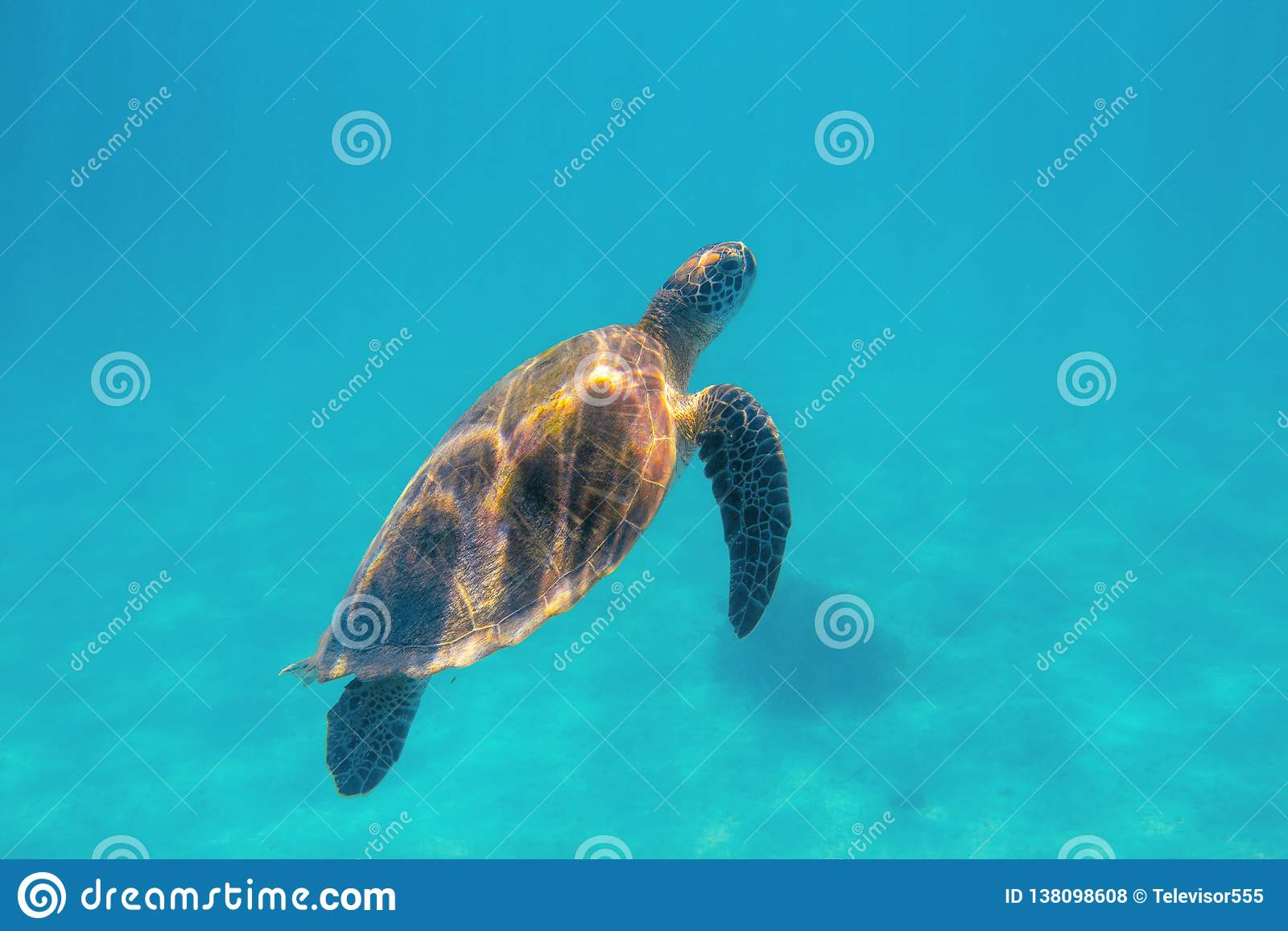 Marine turtle in aqua blue sea. Coral reef animal underwater photo. Marine tortoise undersea