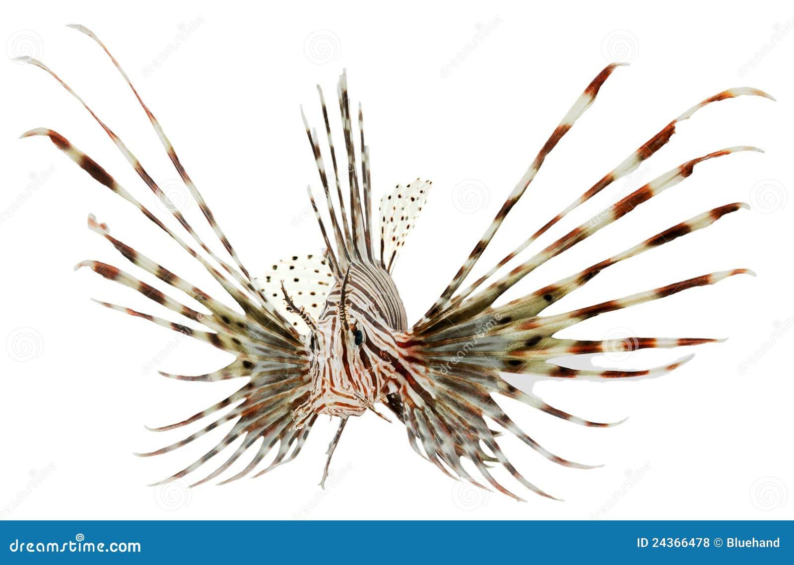 Marinefische, Löwefische getrennt auf weißem backgroun