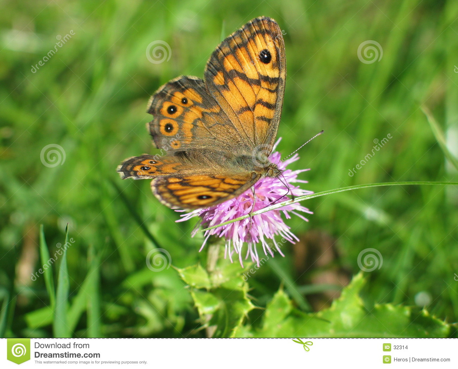 Download Mariposa foto de archivo. Imagen de puntos, flor, hierba - 32314