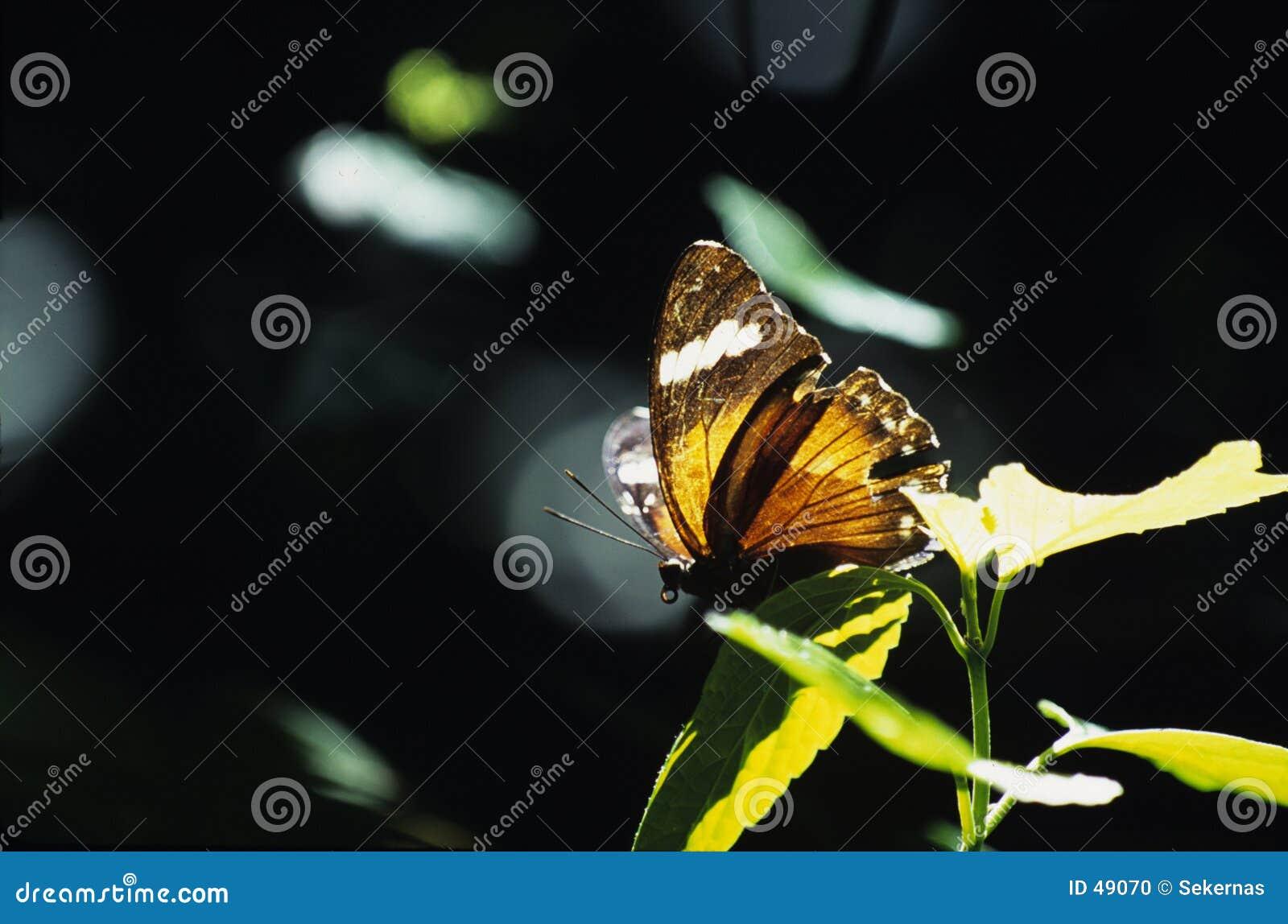 Mariposa anaranjada