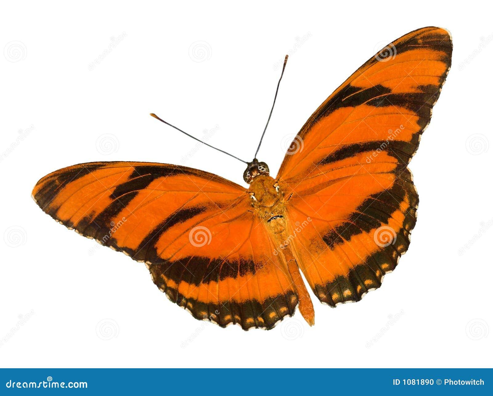 Mariposa anaranjada congregada