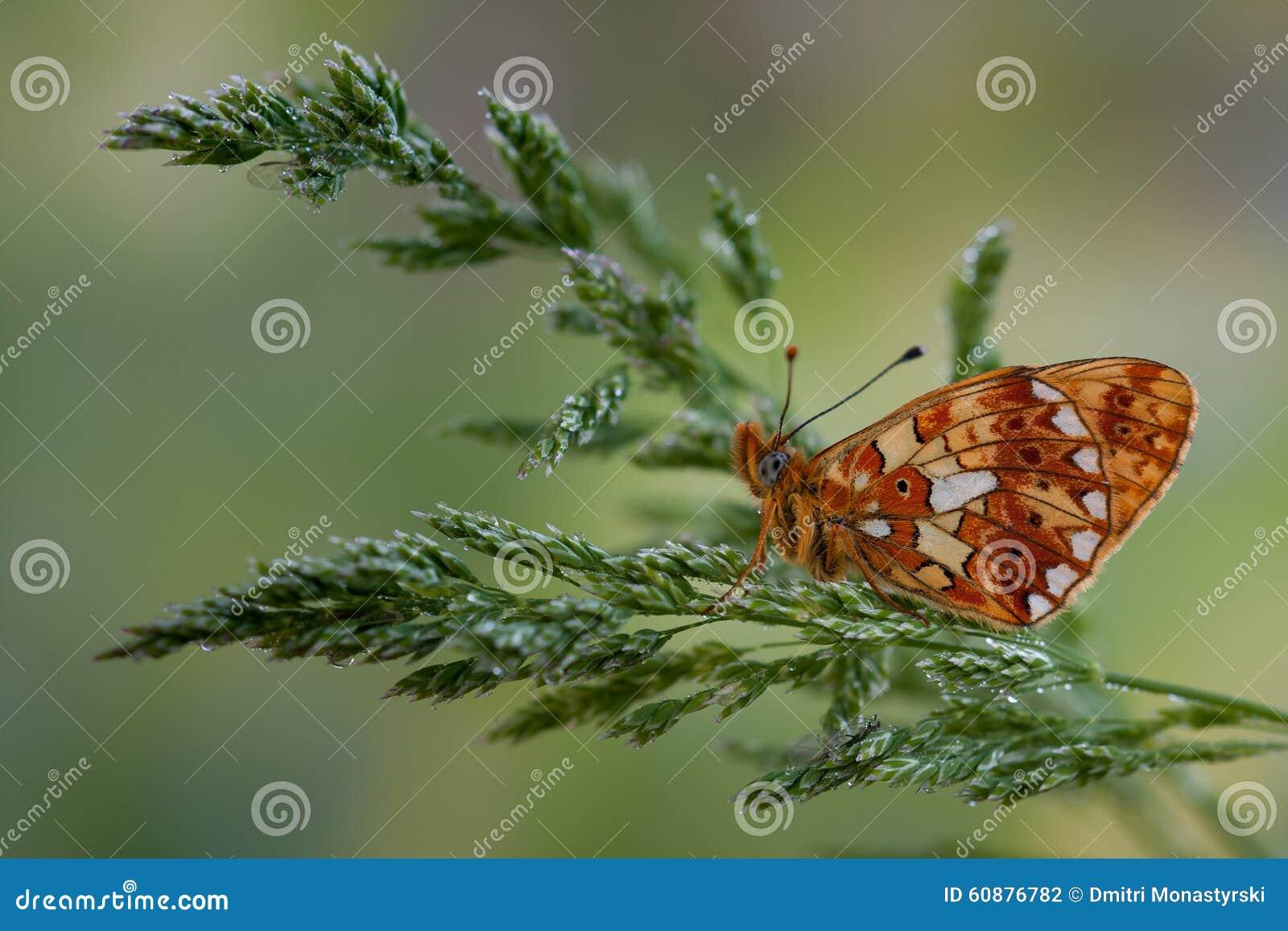 Mariposa anaranjada en la hierba
