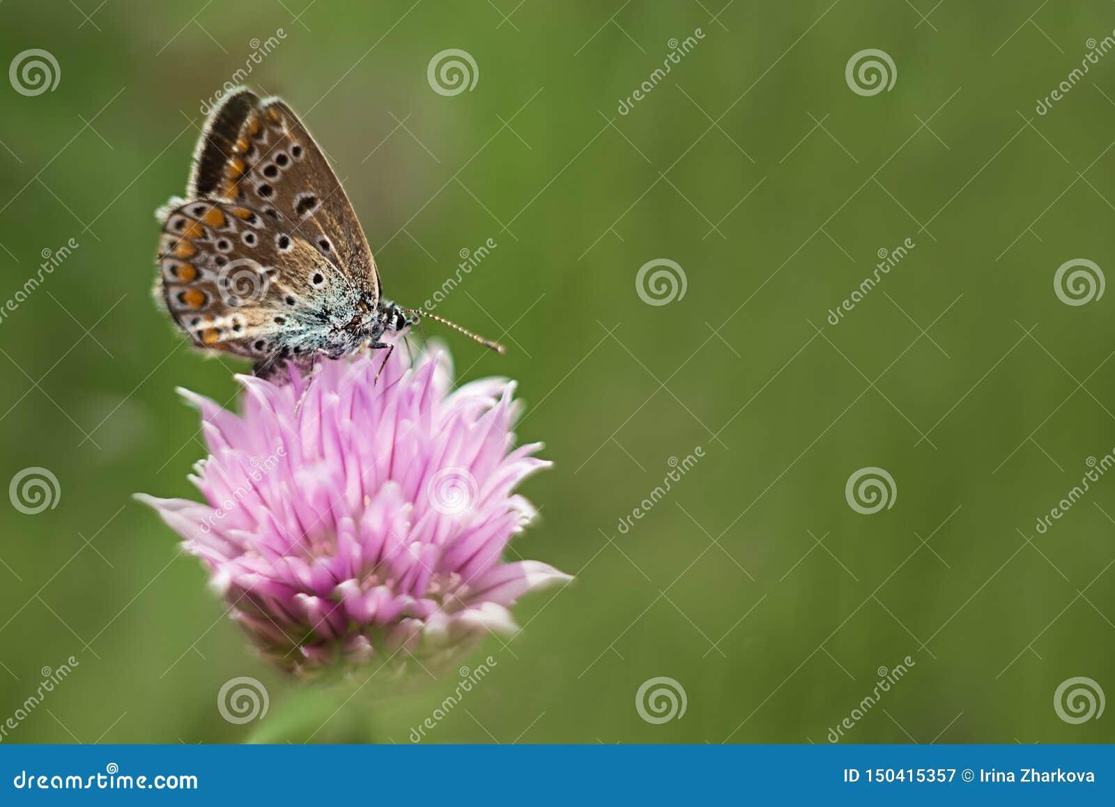 Mariposa anaranjada en una flor de la lila, tiro macro, día soleado del verano Foco selectivo foco suave, bokeh, espacio para el
