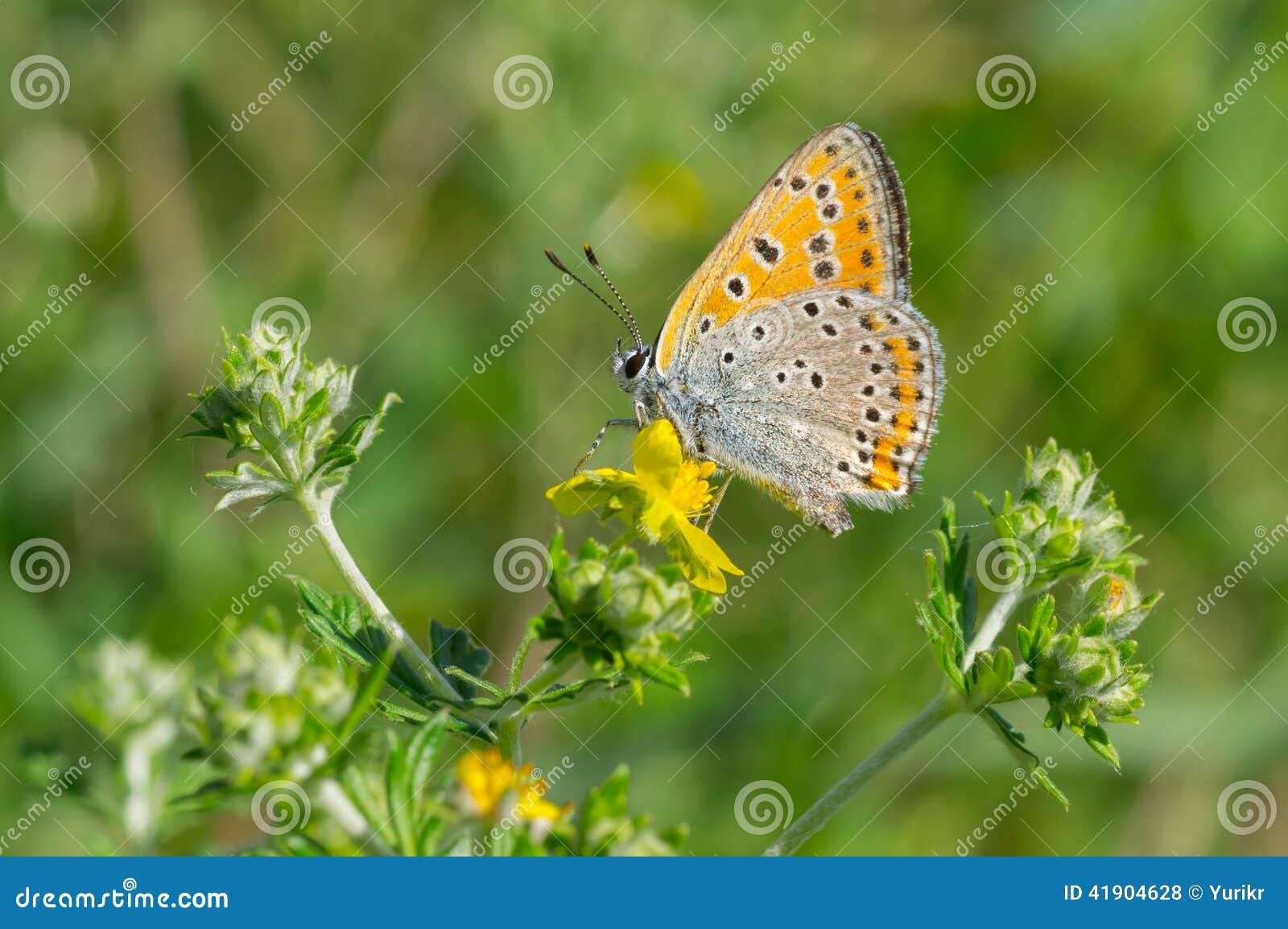 Mariposa azul común en una flor salvaje