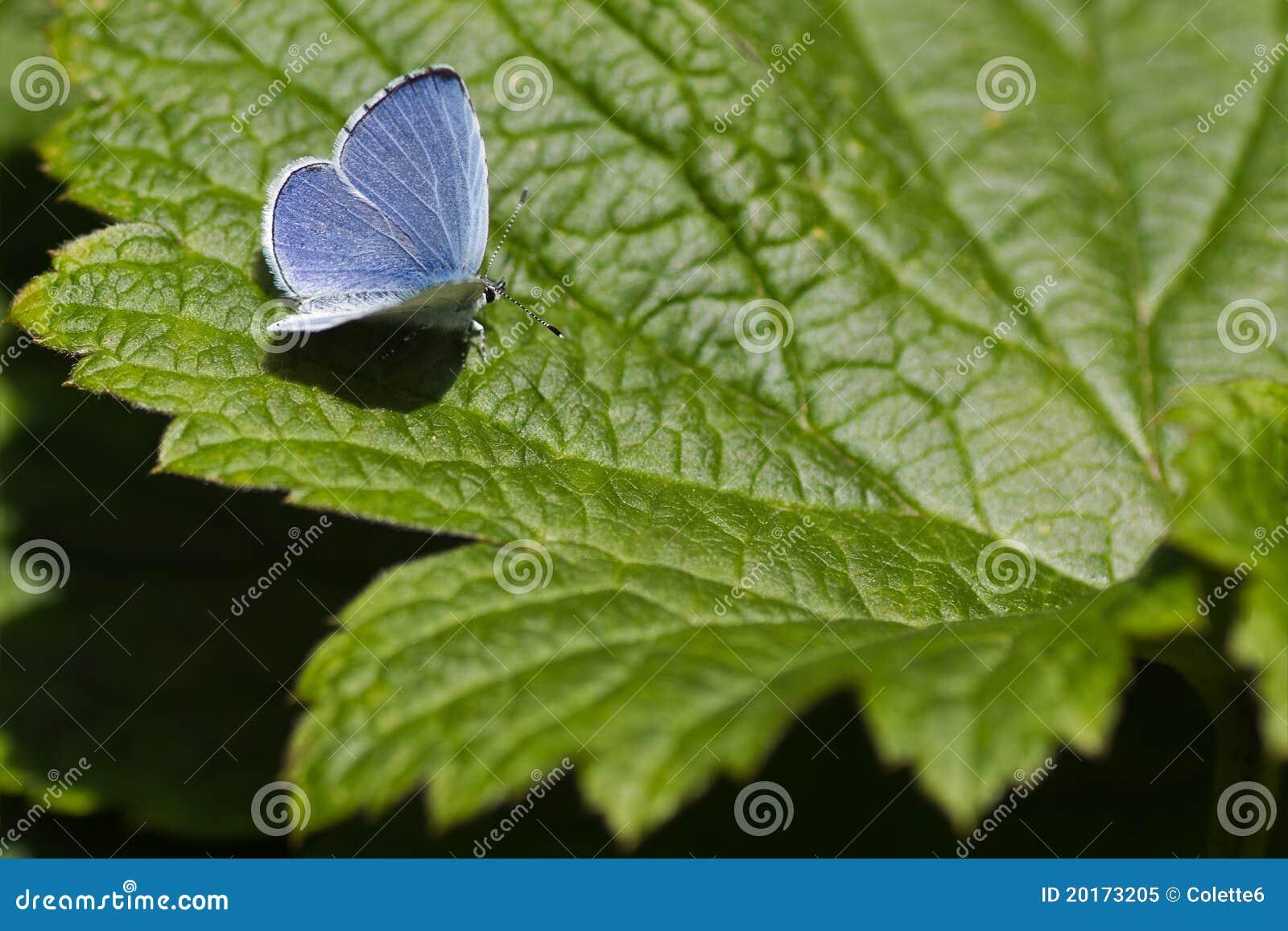 Mariposa azul del acebo en la hoja verde