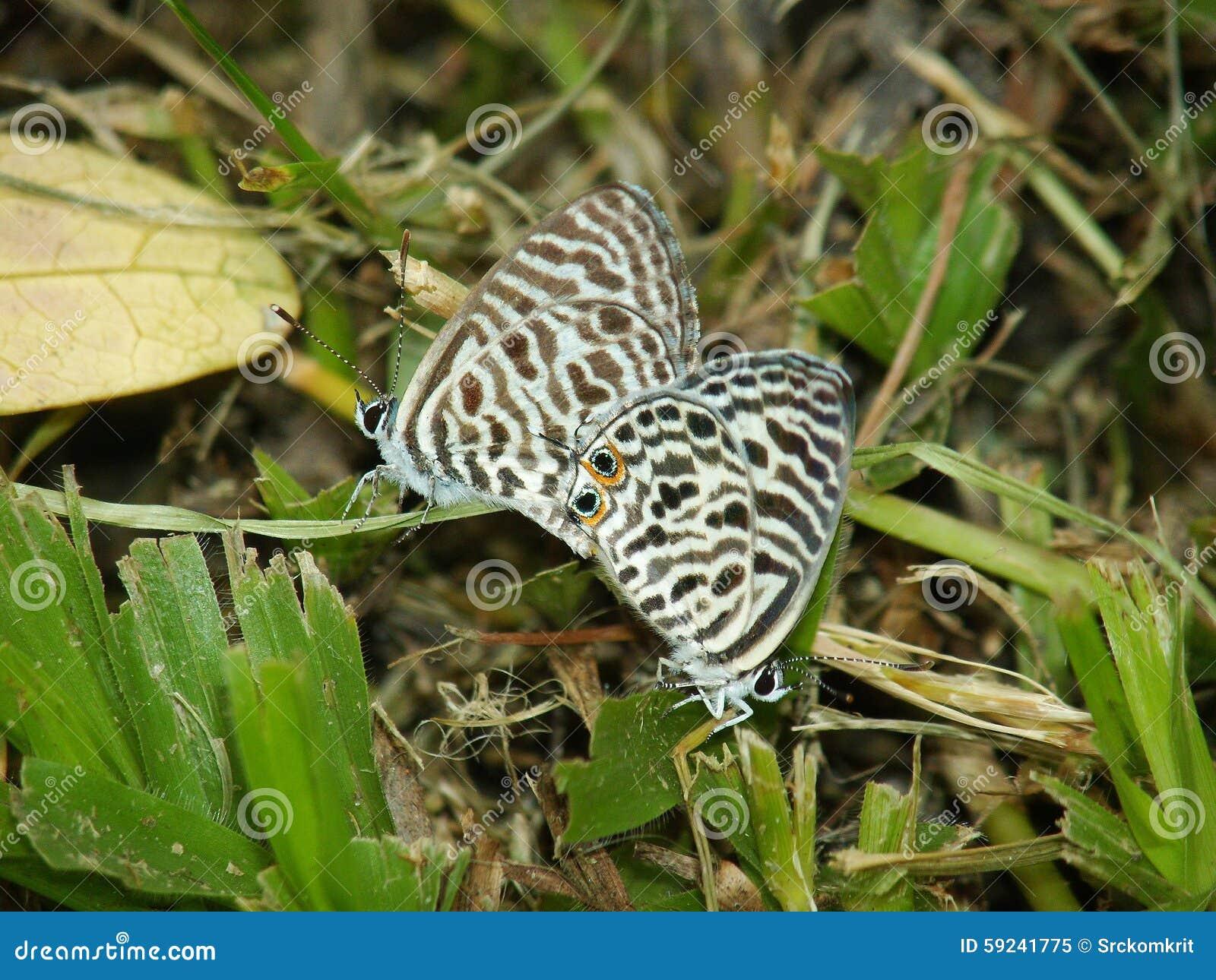 Mariposa - azul del grafito, azul de la cebra, plinius de Leptotes
