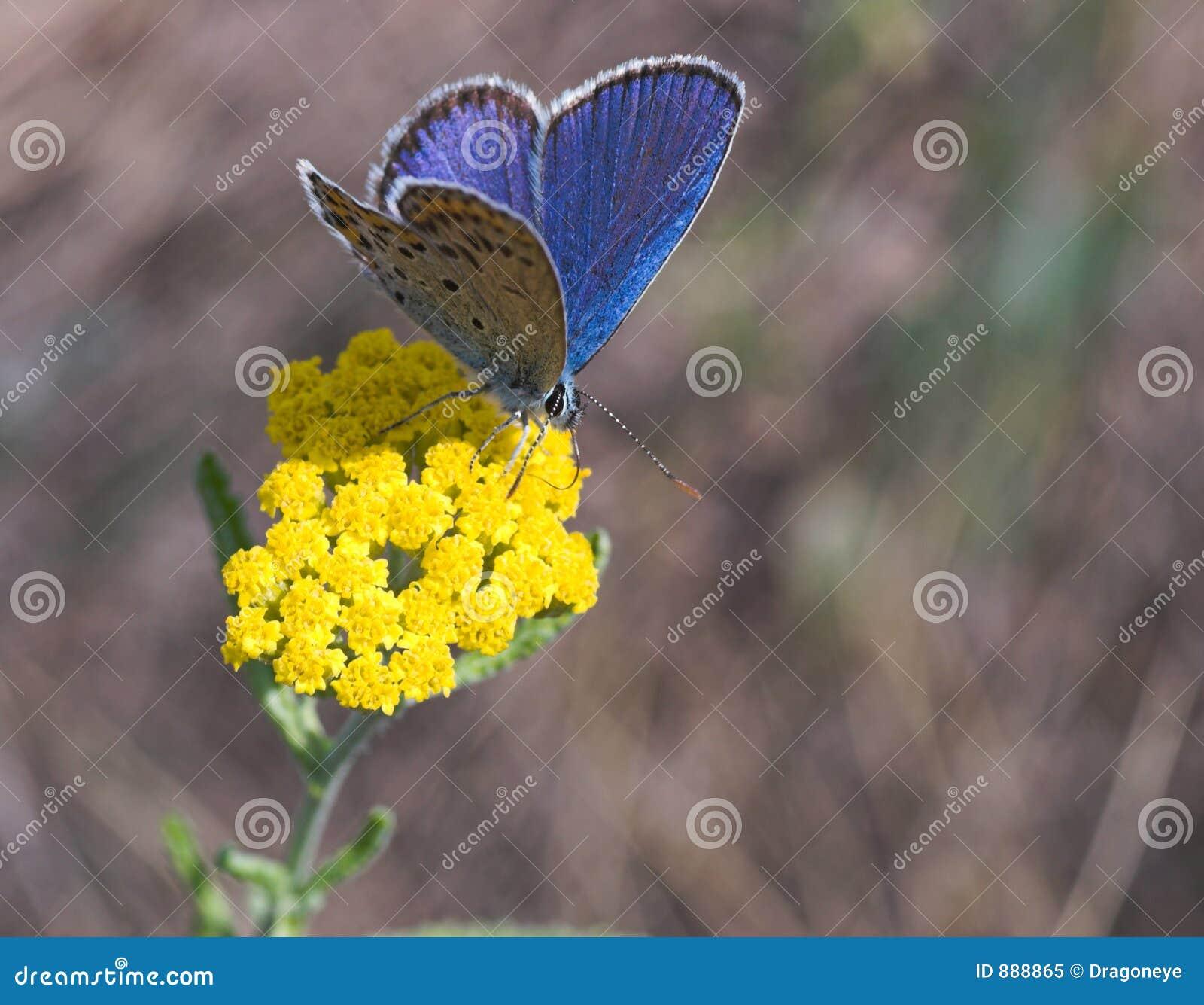Foto de archivo libre de regalías: Mariposa azul en la flor amarilla