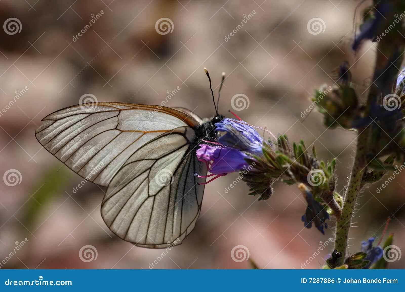 Mariposa blanca Negro-veteada - crataegi de Aporia