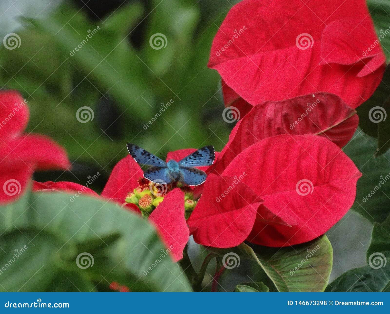?Mariposa Brillante-azul hermosa y rara de Lasaia que se encarama en una poinsetia!