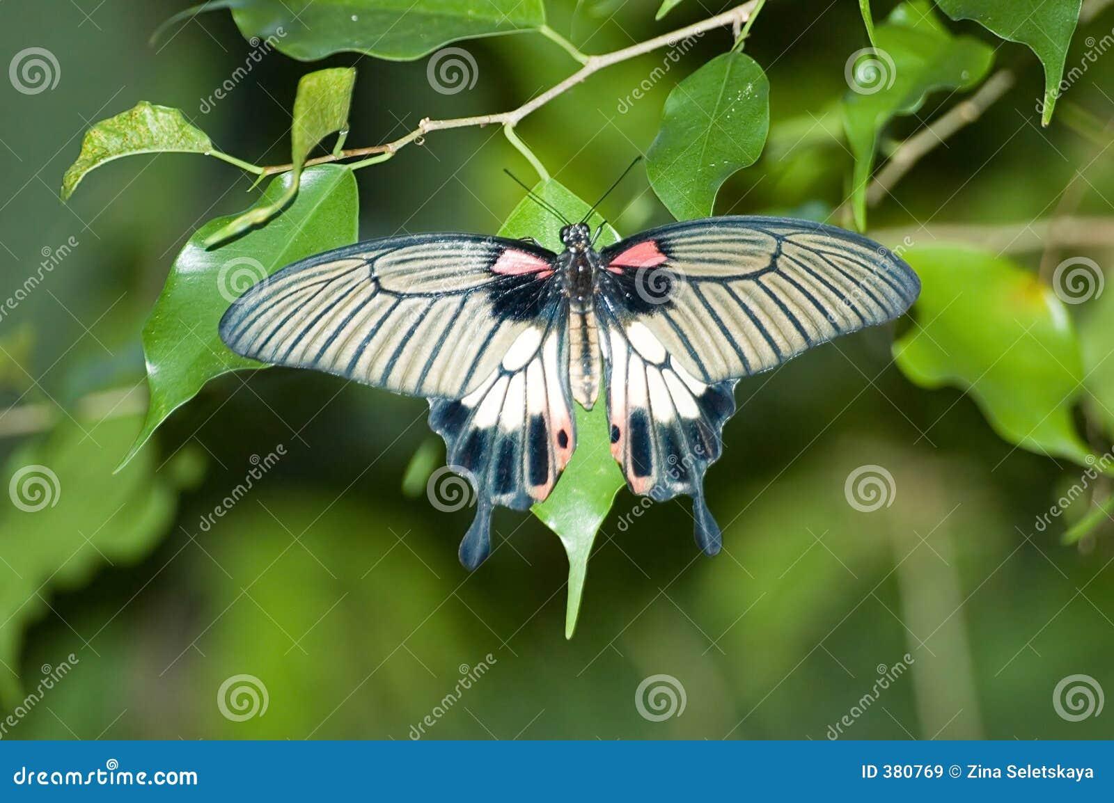 Mariposa común de Rose Swallowtail