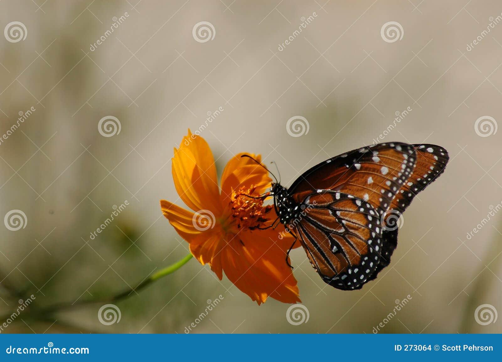 Mariposa contrapesada en la flor