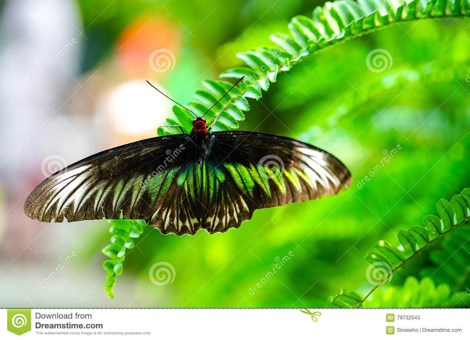 Mariposa de Brooke Birdwing del rajá