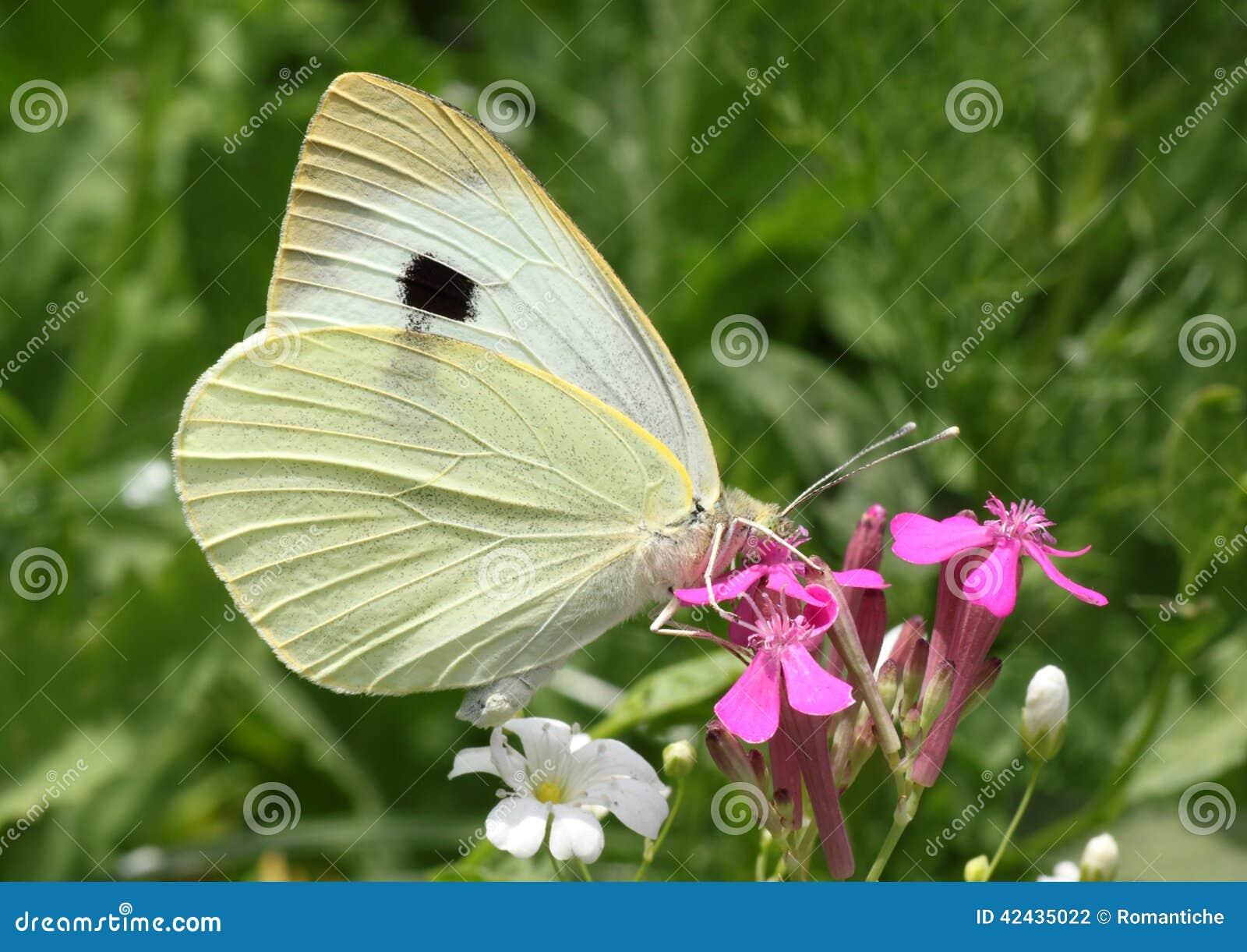 Mariposa de col blanca