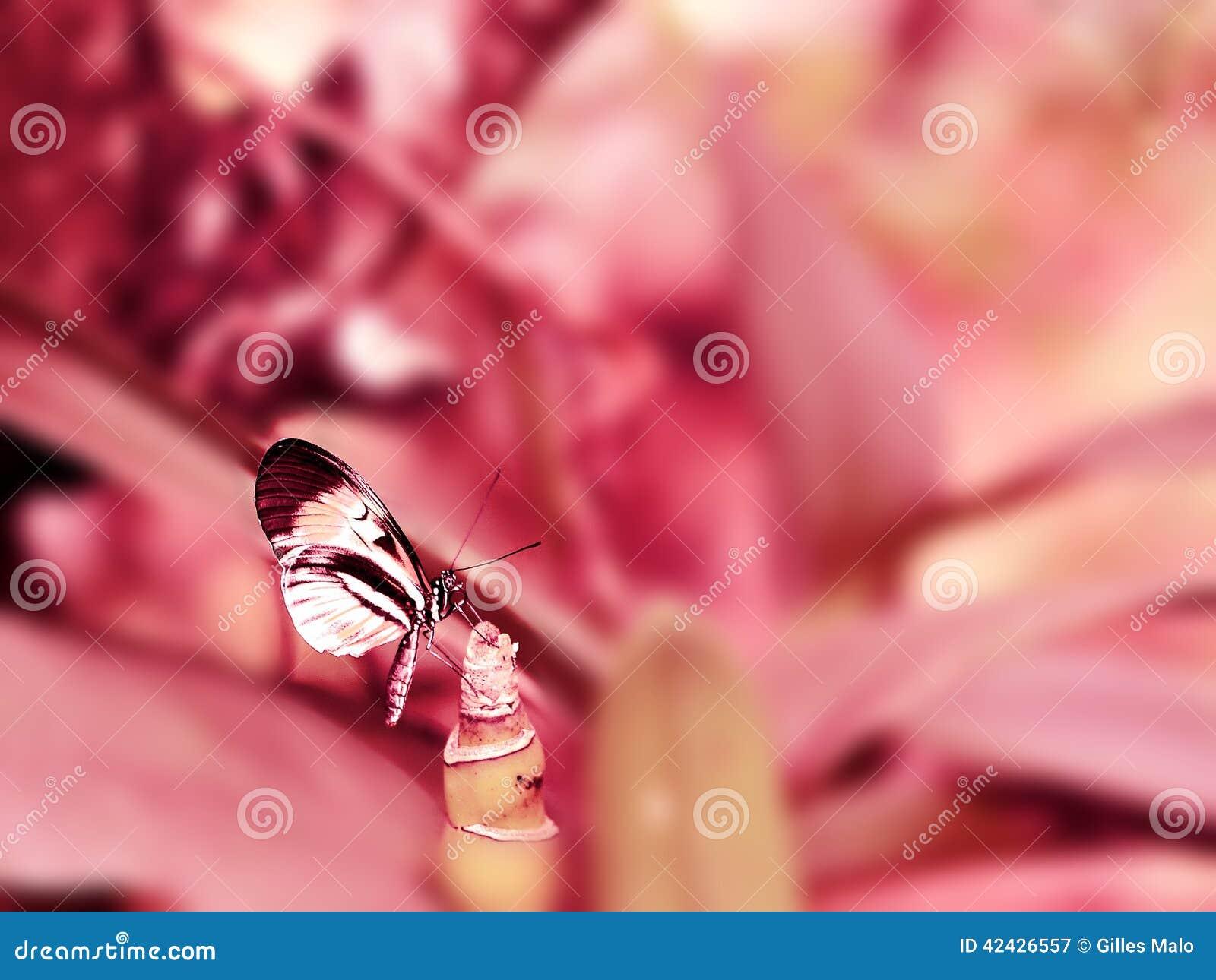 Mariposa de la llave del piano de Longwing en fondo rosado