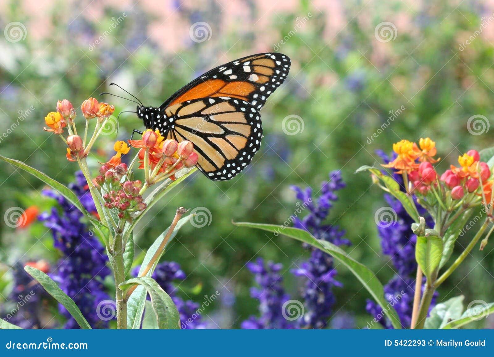Mariposa de monarca