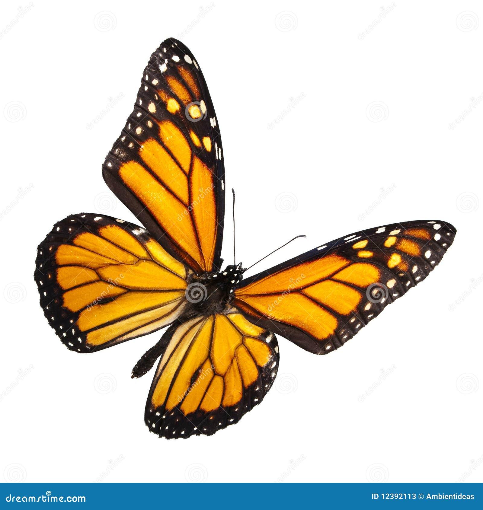 Mariposa de monarca aislada en blanco