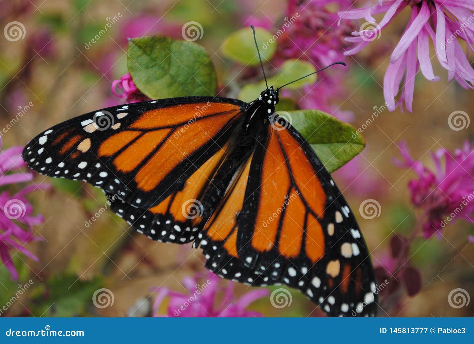 Mariposa de monarca en las alas de extensi?n de la flor