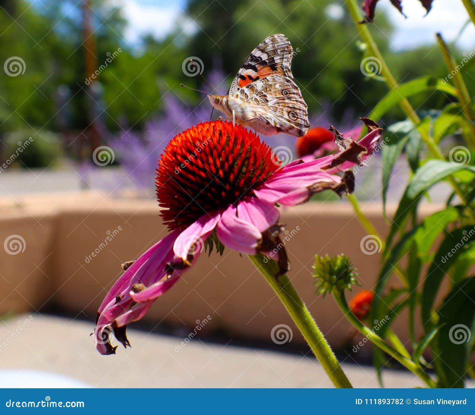 Mariposa de monarca en margarita rosada delante de la pared y de la lavanda del adobe