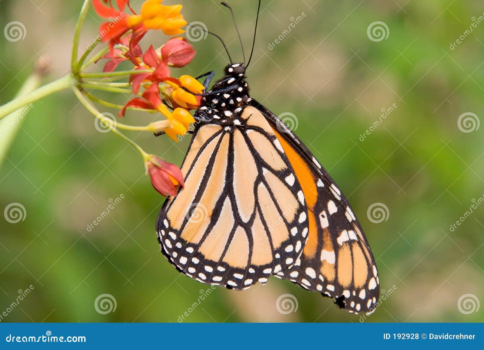 Mariposa de monarca en perfil
