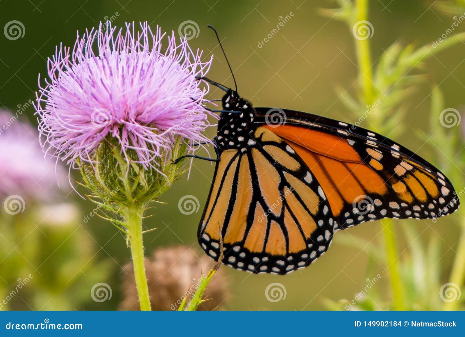 Mariposa de monarca en wildflower púrpura en Theodore Wirth Park en Minneapolis, Minnesota