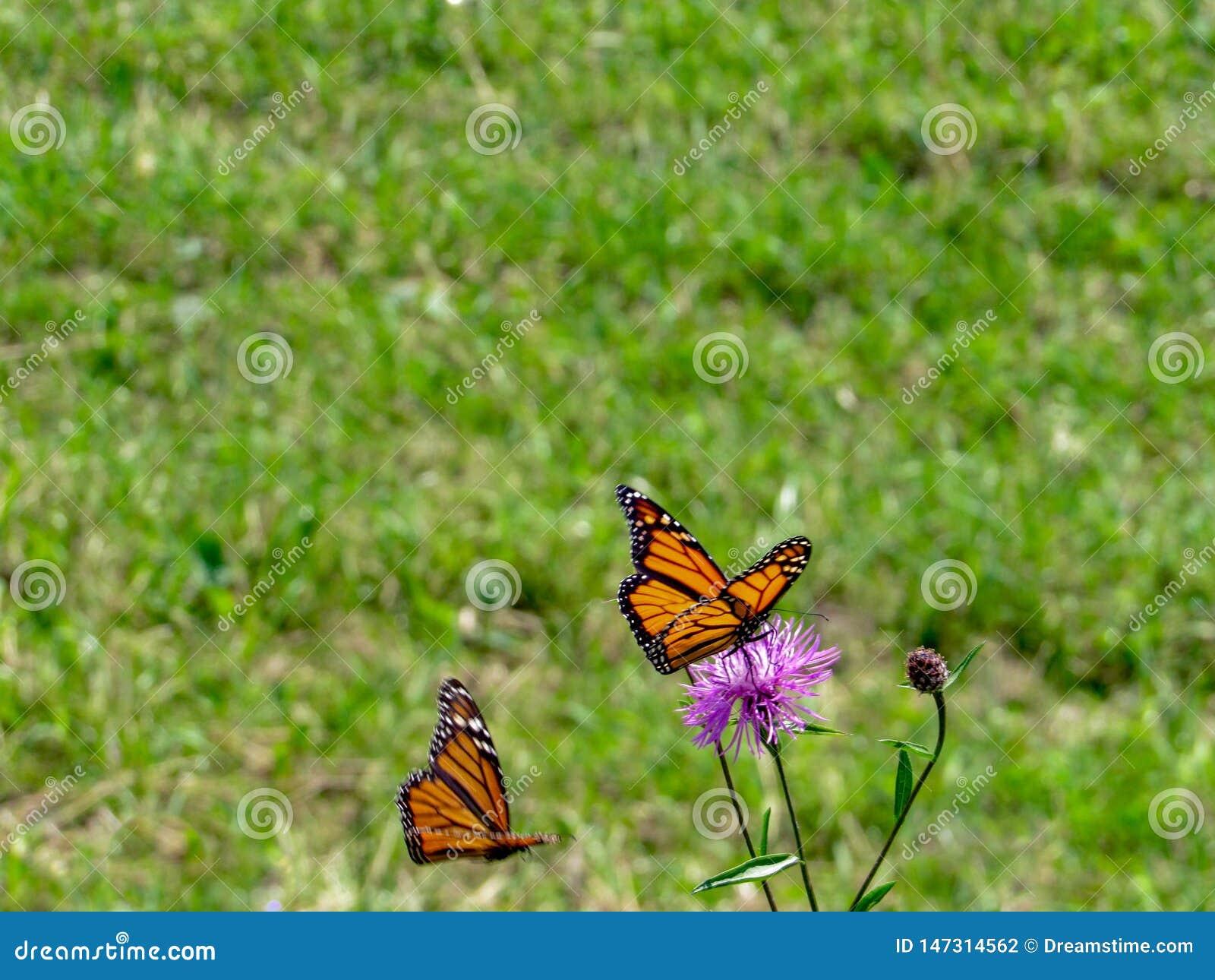 Mariposa de monarca encaramada en una flor p?rpura