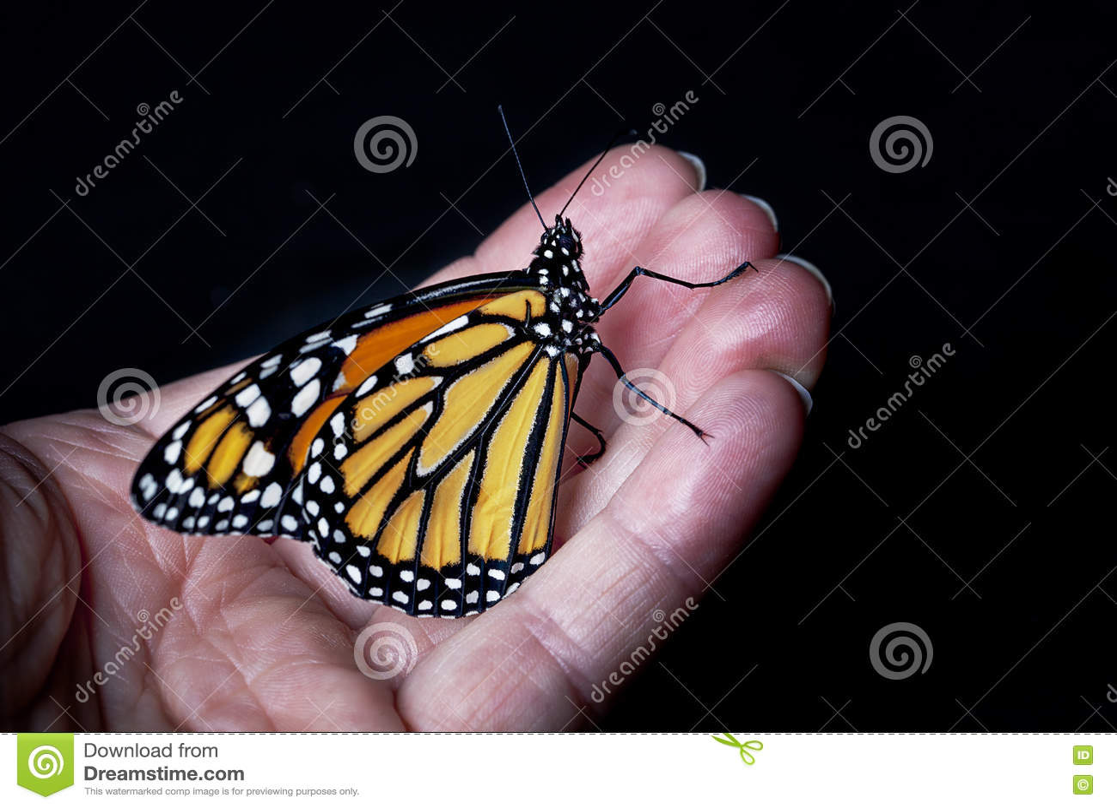 Mariposa de monarca a mano