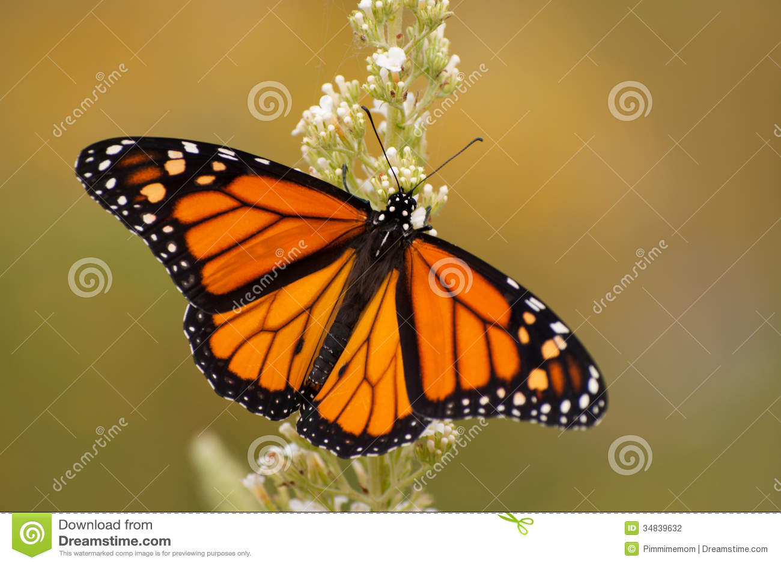 Mariposa de monarca masculino en jardín del verano