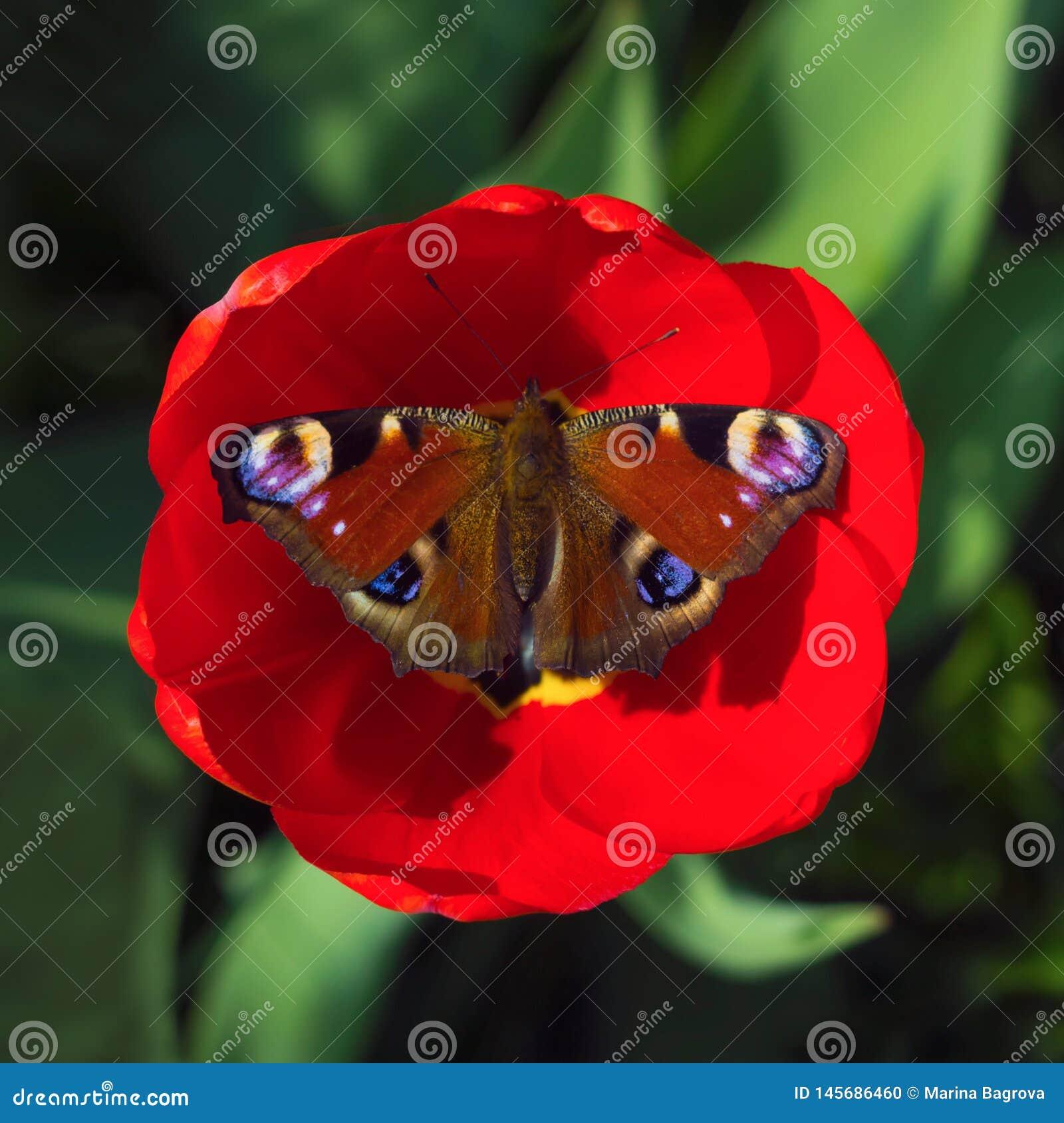Mariposa de pavo real que descansa sobre una flor roja del tulipán en un fondo borroso verde D?a de verano asoleado Foto macra, c