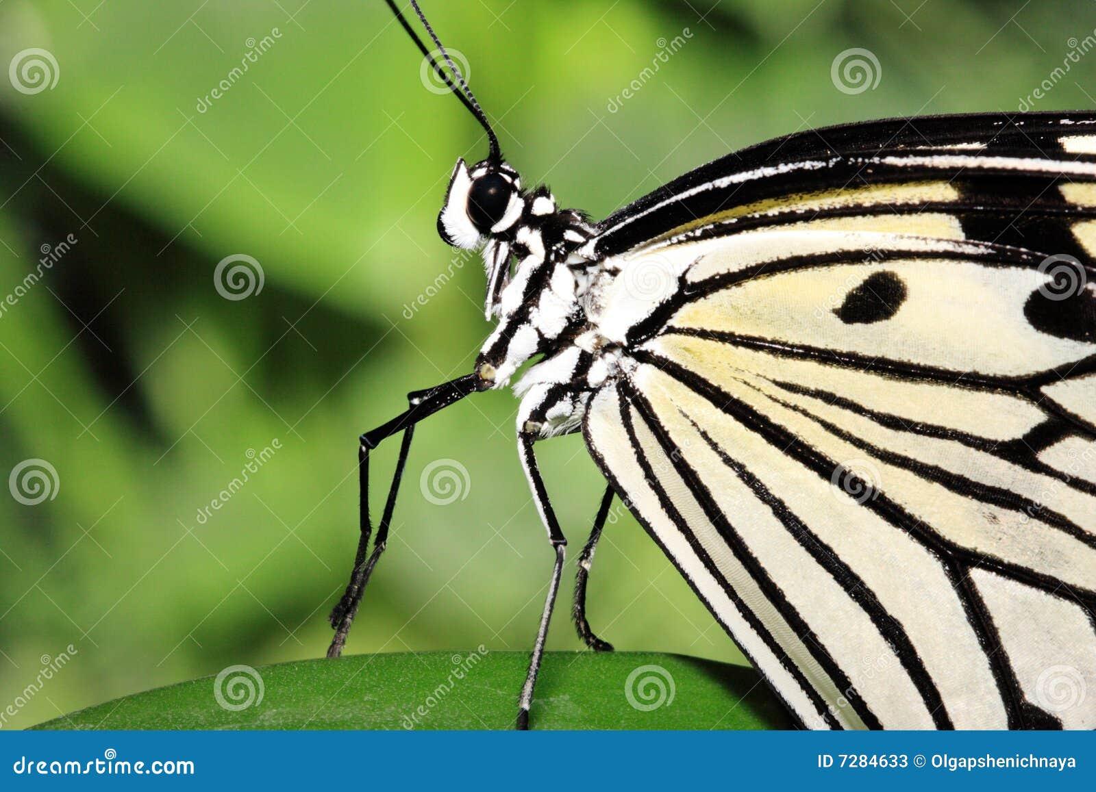 Mariposa del baile