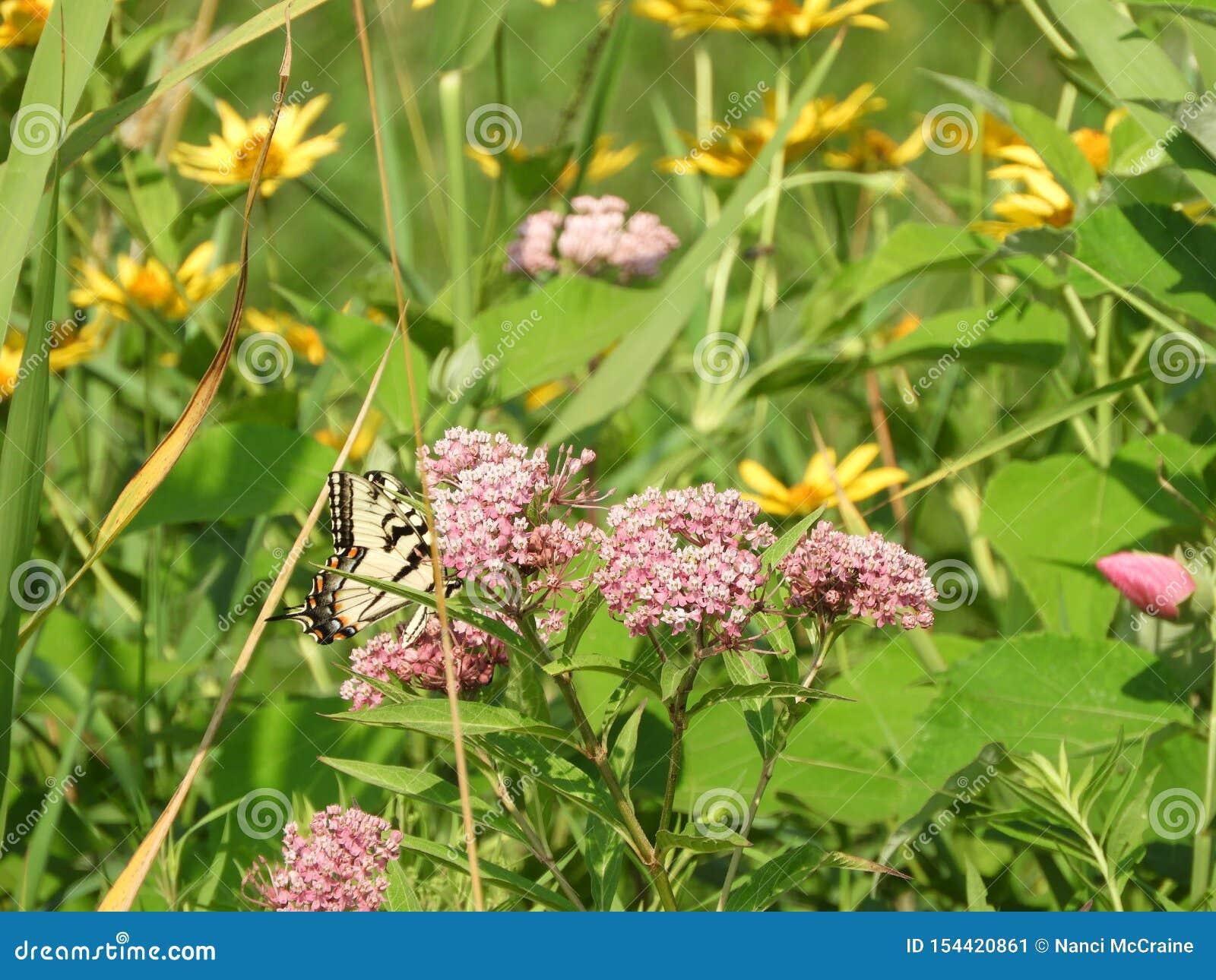 Mariposa del este de Tiger Swallowtail entre wildflowers