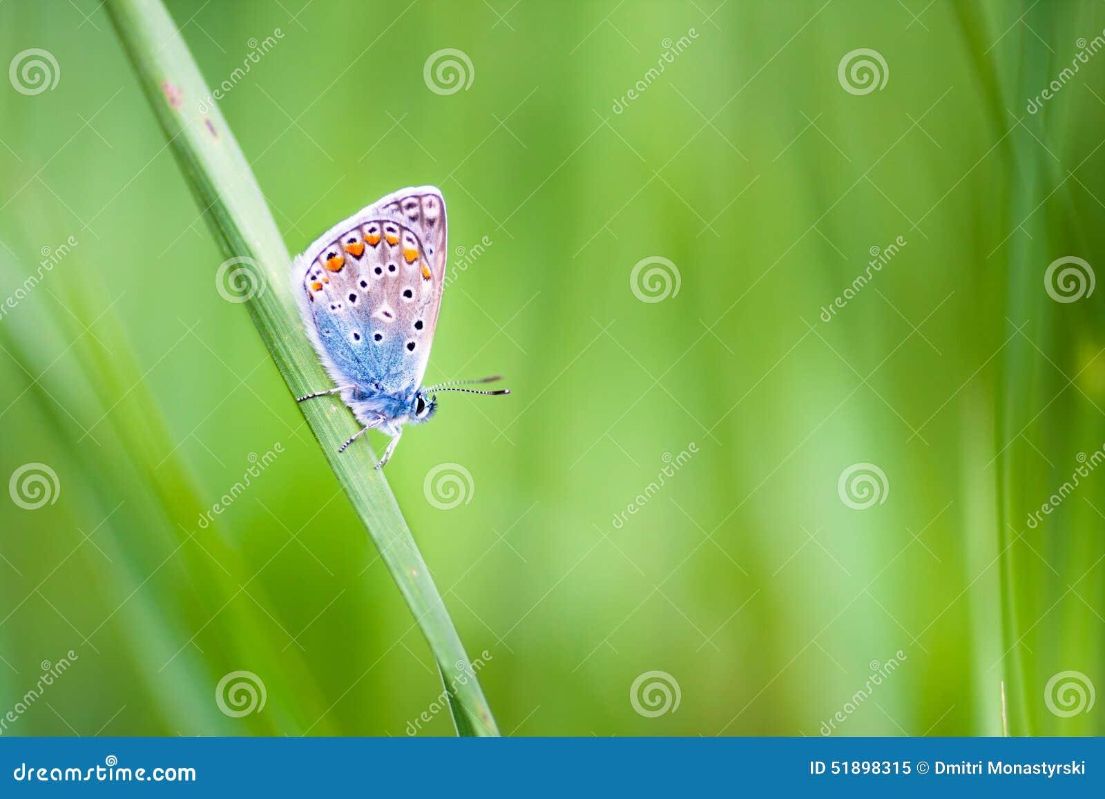 Mariposa del Lycaenidae en una flor